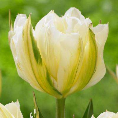 Tulip Exotic Emperor Bulbs (25-Pack)