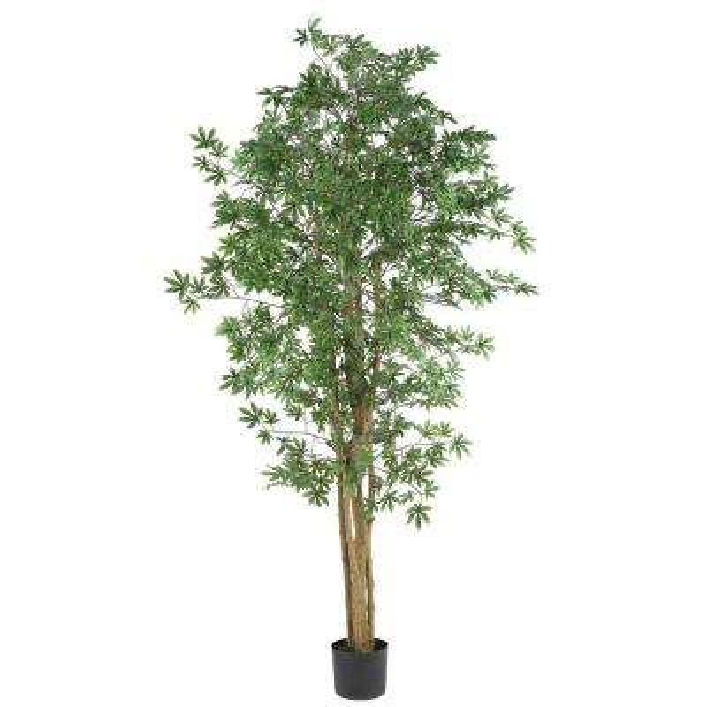 6 ft. Japanese Maple Silk Tree