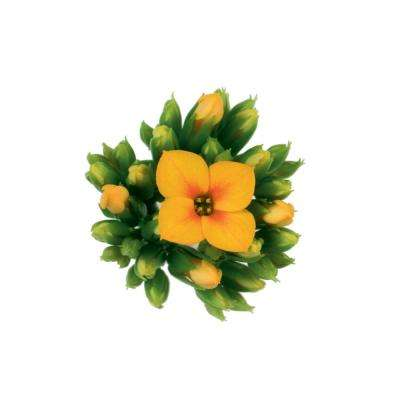 1 Qt. Yellow Kalanchoe Plant in Grower Pot (4-Pack)