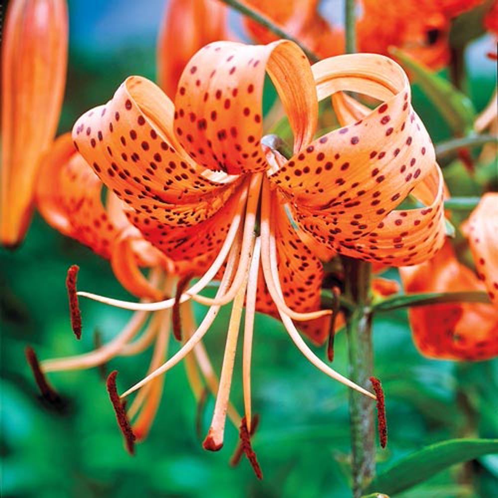 Orange Tiger Lily Bulbs 3 Pack