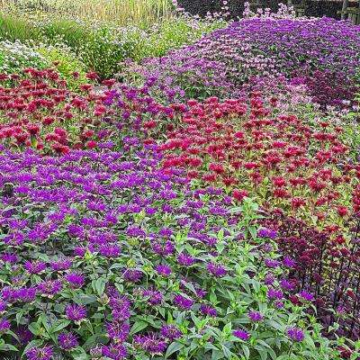 3 in. Pot Panorama Mix Bee Balm (Monarda), Live Perennial Plant, Multi Colored Flowering Perennial (1-Pack)