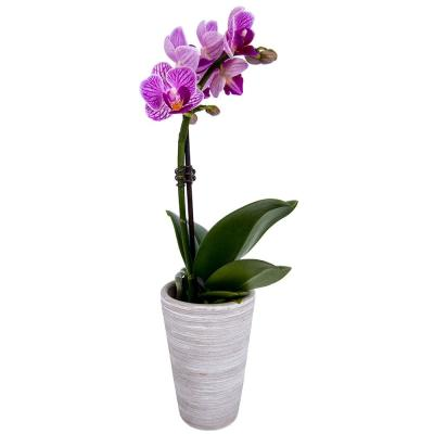 2 in. Mini Orchid in Container