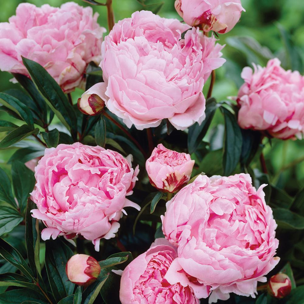 Van Zyverden Peonies Sarah Bernhardt Roots 5 Pack 11386 The Home Depot