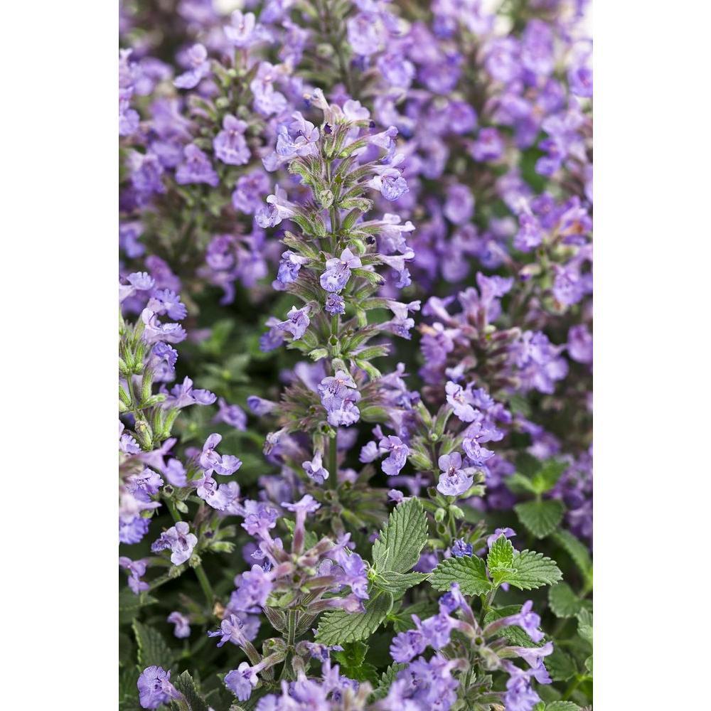 Flowering perennial catmint perennials garden plants flowers cats meow catmint nepeta live plant blue purple flowers 065 gal mightylinksfo