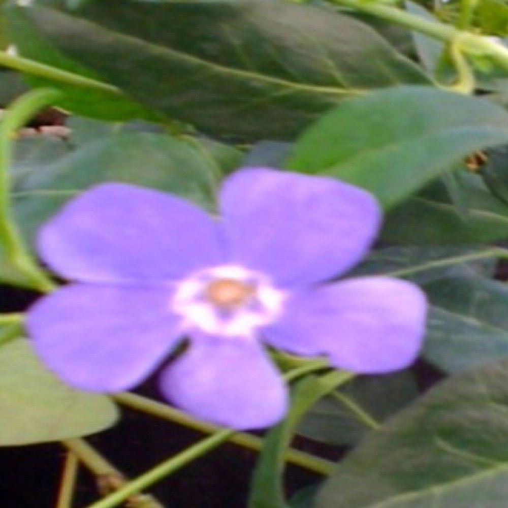 OnlinePlantCenter 1 gal. La Grave or Bowles Periwinkle Myrtle Plant