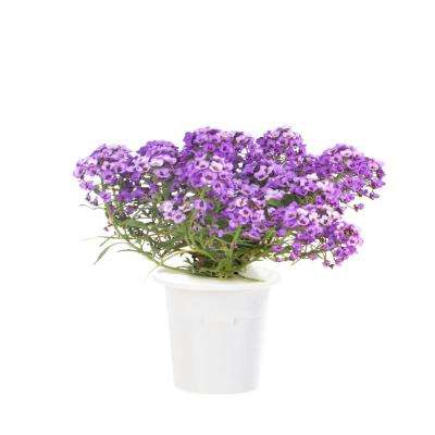 Sweet Alyssum Refill for Smart Herb Garden (3-Pack)