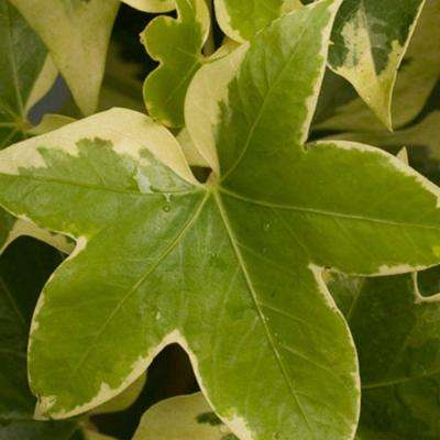 3 Gal. Angyo Star Fatshedera, Live Evergreen Plant, Green Foliage With White Edges