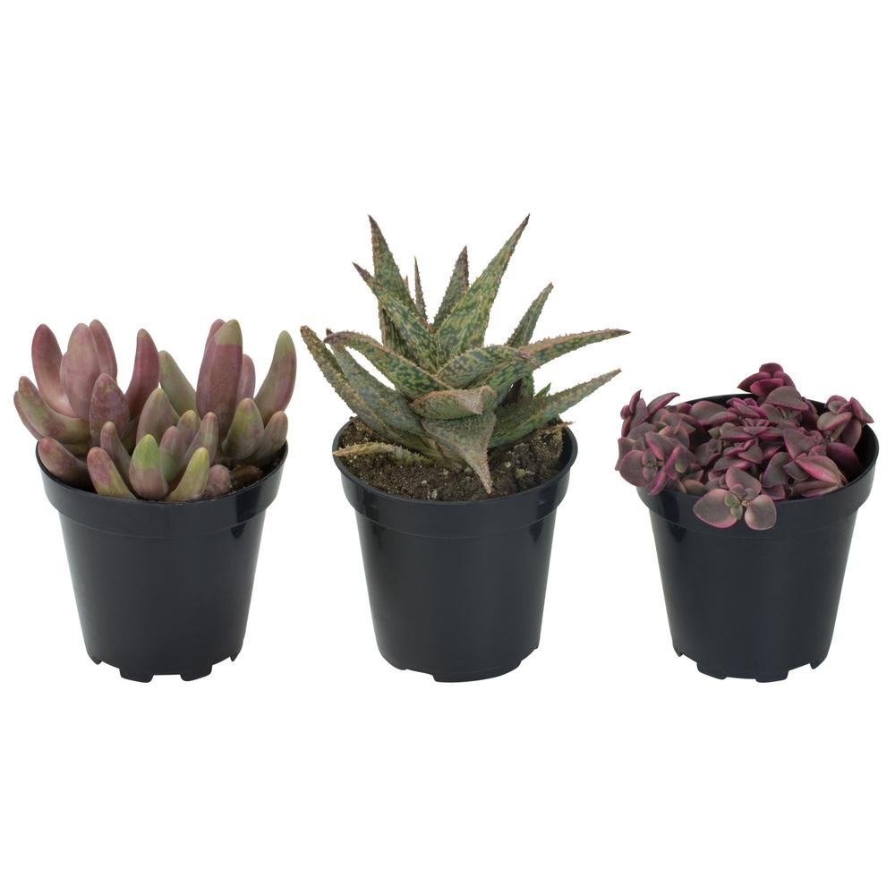 Altman Plants 3 5 In Shades Of Pink Succulent Collection 3 Pack