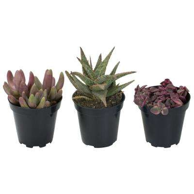 3.5 in. Shades of Pink Succulent Collection (3-Pack)