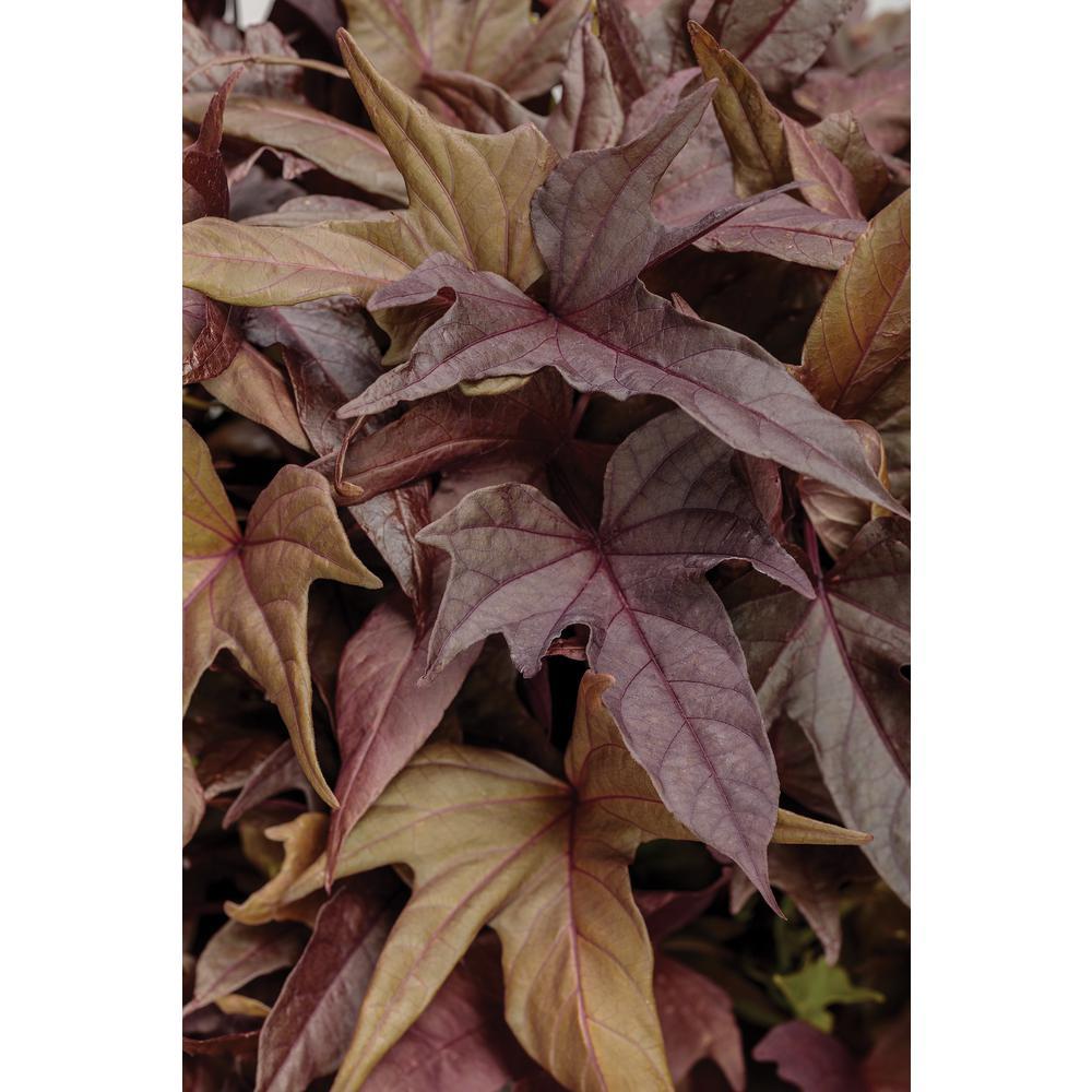 4-pack, 4.25 in. Grande Sweet Caroline Red Hawk Ornamental Sweet Potato Vine (Ipomoea) Live Plants, Red-Brown Foliage