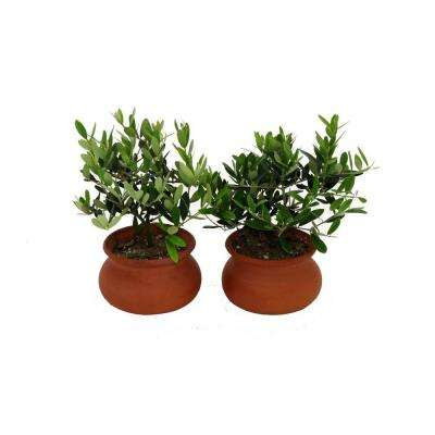 4 in. Olive Tree Pair Clay Wash Pot