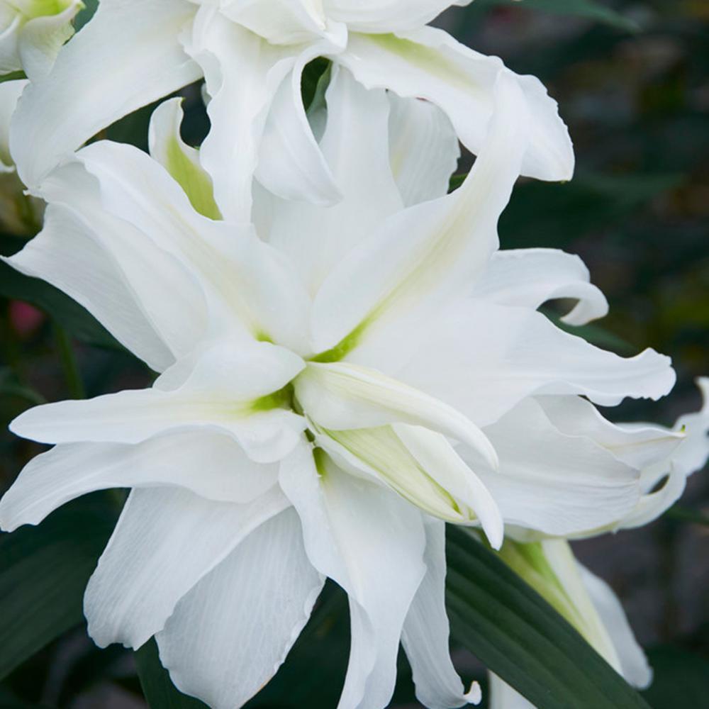 Van Zyverden White Lily My Wedding Bulbs 7 Pack 83474