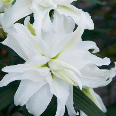 White Lily My Wedding Bulbs (7-Pack)