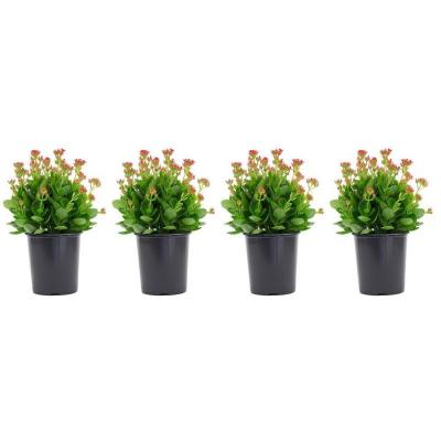 2.5 Qt. Kalanchoe Plant Violet Flowers in 6.33 In. Grower's Pot (4-Plants)