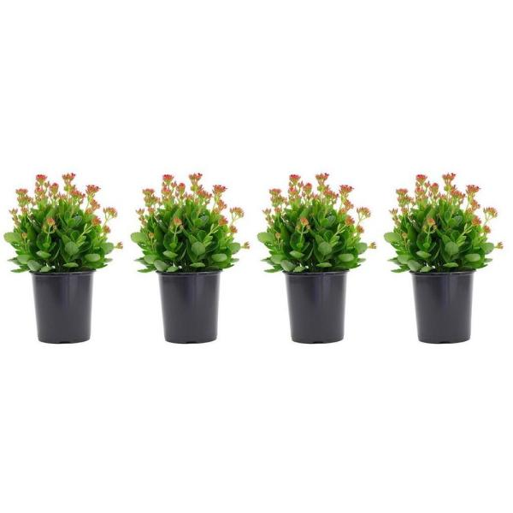 2.5 Qt. Kalanchoe Plant Violet Flowers in 6.33 In. Grower's Pot (4-Plants)