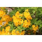 1 Gal. Lemon Lights Azalea Shrub Shades of Dazzling Yellow Change Across the Massive Blossoms Cold Hardy