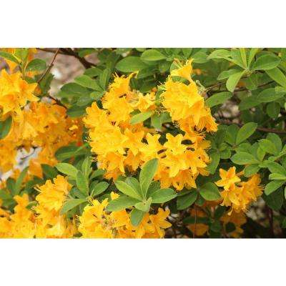 1 Gal. Lemon Lights Azalea Shrub Shades of Dazzling Yellow Change Across the Massive Blossoms Cold Hardy