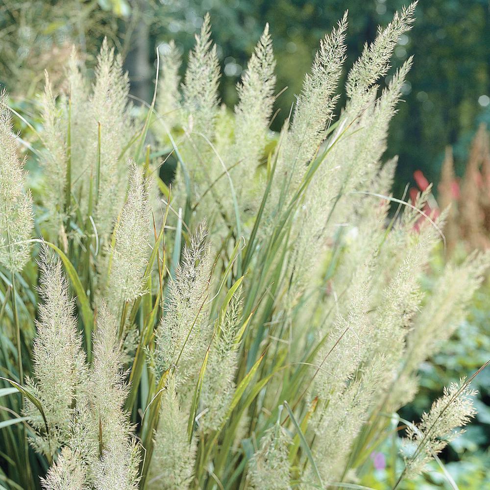 Spring Hill Nurseries 2 In Pot Diamond Grass Calamagrostis Live