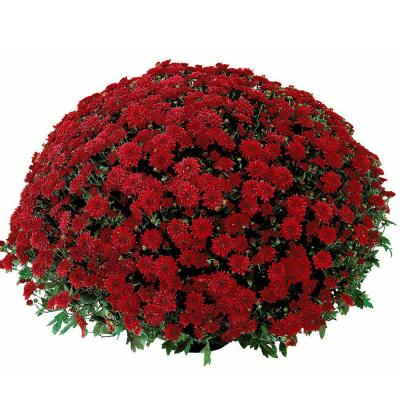 2.5 Qt. Mum Chrysanthemum Plant Red Flowers in 6.33 In. Grower's Pot (4-Plants)
