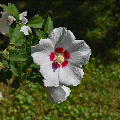 1 Gal. Orchid Satin Rose of Sharon Hibiscus Shrub Fragrant Lavenderpink Flowers with a Scarlet Splash Inside