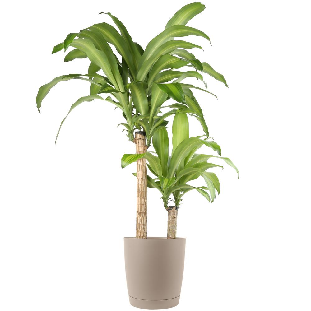 Mass Cane in 8.75 in. Taupe Decor Pot
