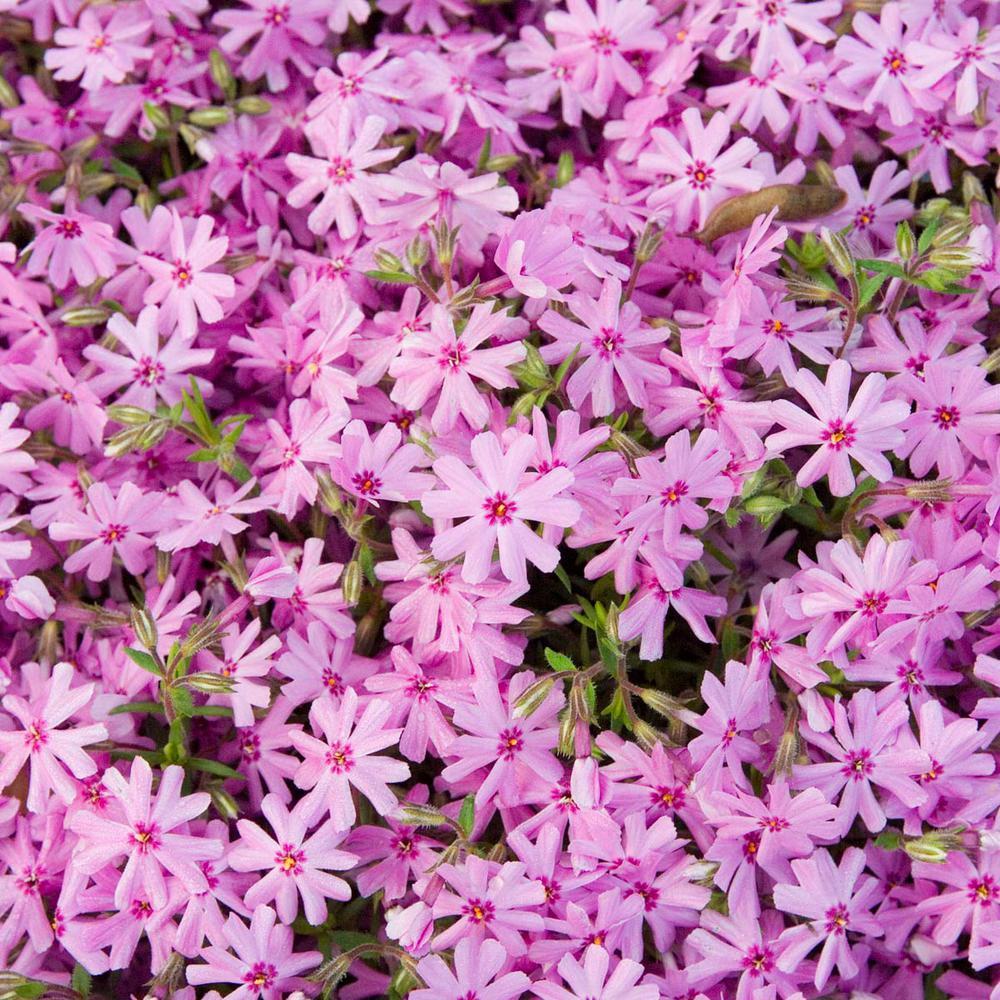 Pink Creeping Phlox, Live Bareroot Plant, Pink Flowering Groundcover Perennial (3-Pack)