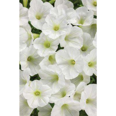 4-Pack, 4.25 in. Grande Supertunia White Charm (Petunia) Live Plant, White Flowers