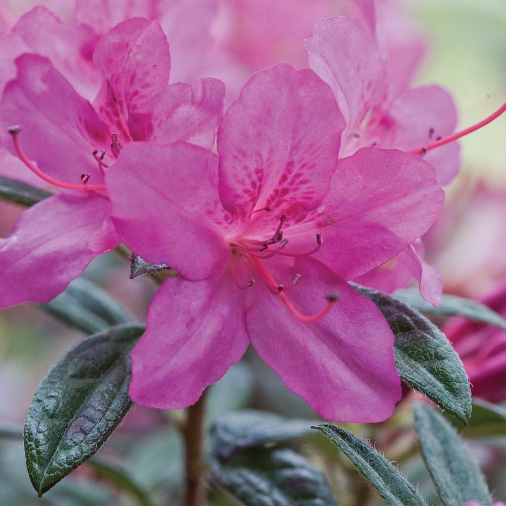 1 Gal. Autumn Amethyst Encore Azalea Shrub with Small Magenta Purple Reblooming Flowers