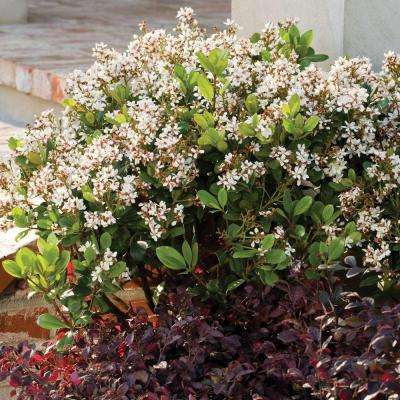 3 Gal. Spring Sonata Indian Hawthorn, Live Evergreen Shrub, White Flower Clusters