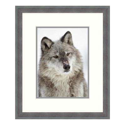 """""""Timber Wolf portrait with snow on muzzle, Montana"""" by Tim Fitzharris Framed Wall Art"""