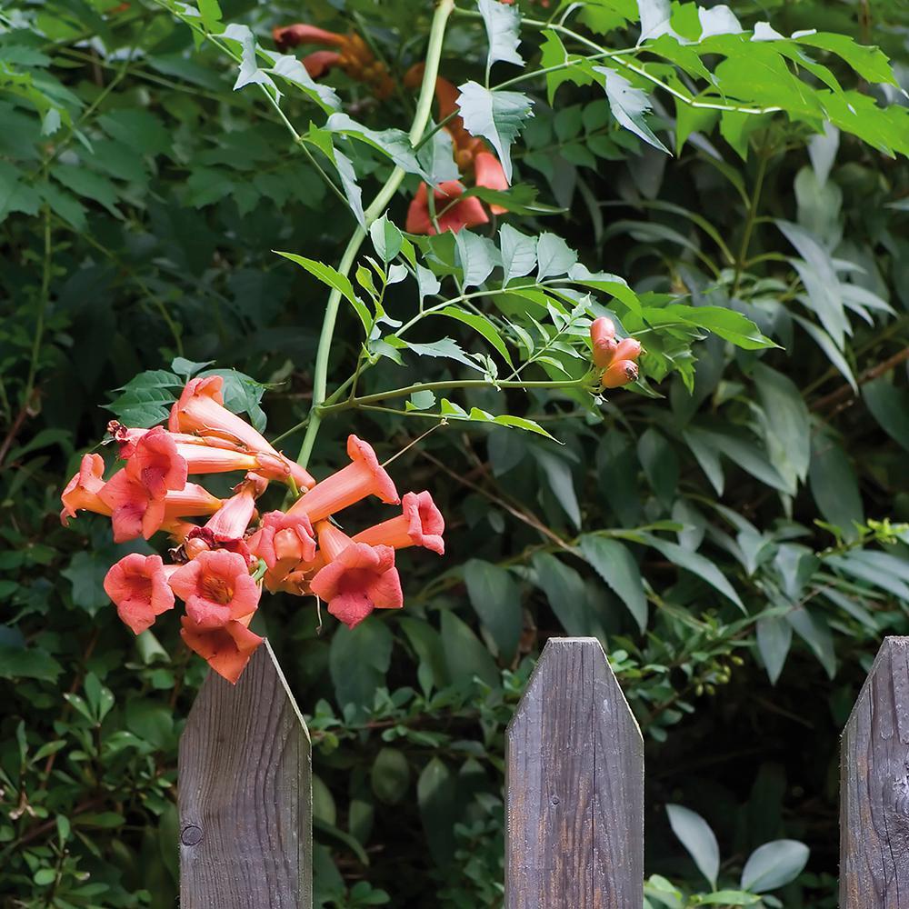 Trumpet Vine Orange Root Stock (Set of 1 Root)