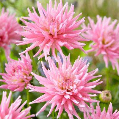 Dahlias Mother's Day Pink Bulbs (Set of 7)