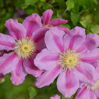 Pink Beauty Clematis Vine, Live Perennial Plant, with Pink Flowers, Grown in a 4 in. Pot (1-Pack)