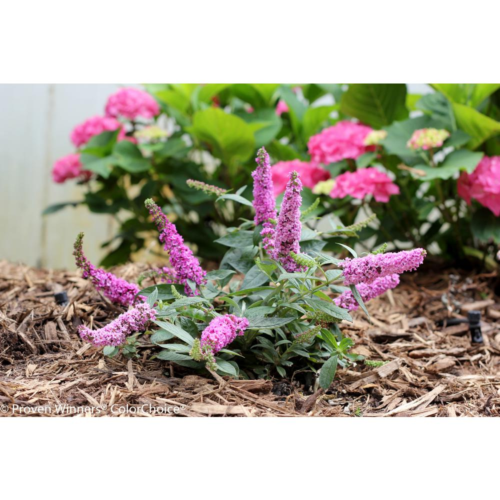 Proven Winners Lo and behold 'Pink Micro Chip' Butterfly Bush (Buddleia) Live Shrub, Pink Flowers, 4.5 in. qt.
