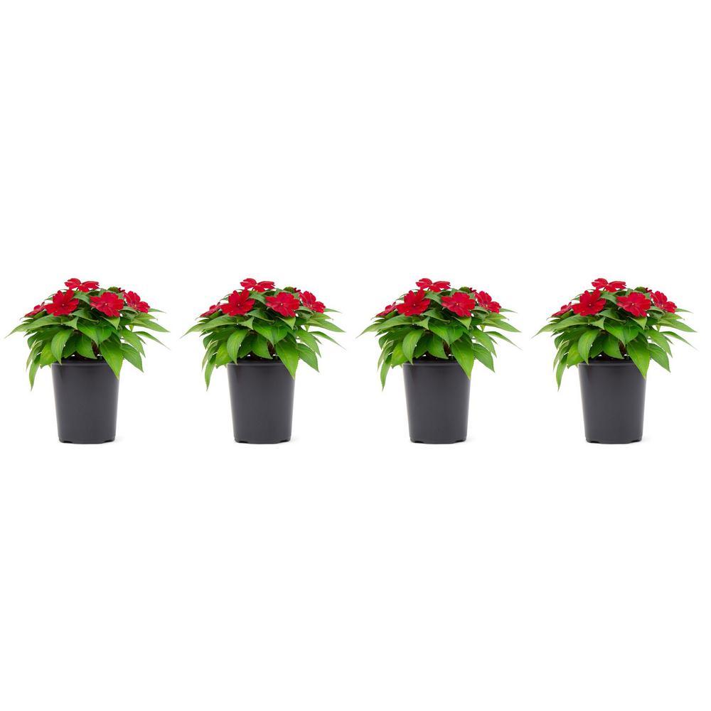 1 Qt. Sunpatien Impatien Plant Red Flowers in 4.7 In. Grower's Pot (4-Plants)