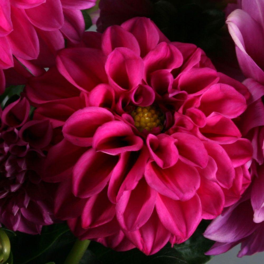 Proven Winners Dalina Midi Fiji Dahlia Live Plant Pink Purple