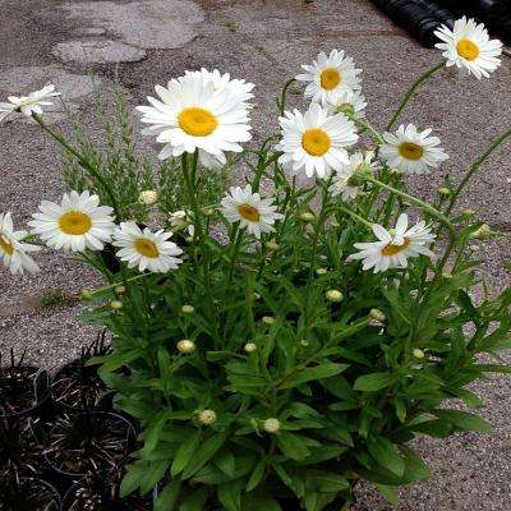 1 Gal. Dwarf White Snowcap Shasta Daisy Plant