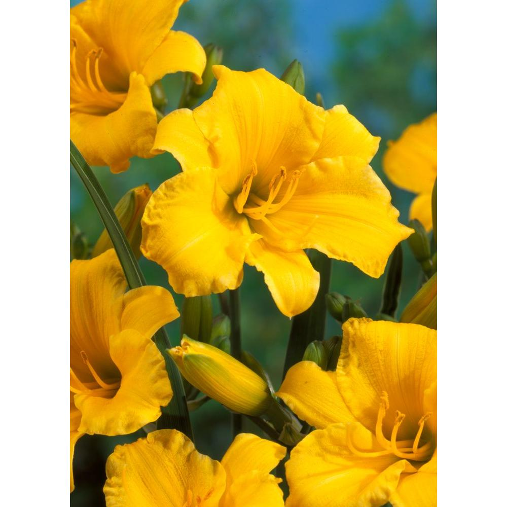 Bloomsz Daylily Fragrant Stella D'Oro Roots Super Saver (6-Pack)