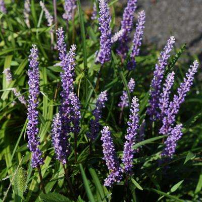 2.5 Qt. Super Blue Lily Turf (Liriope) Grass with Violet Purple Flower Spikes in Summer