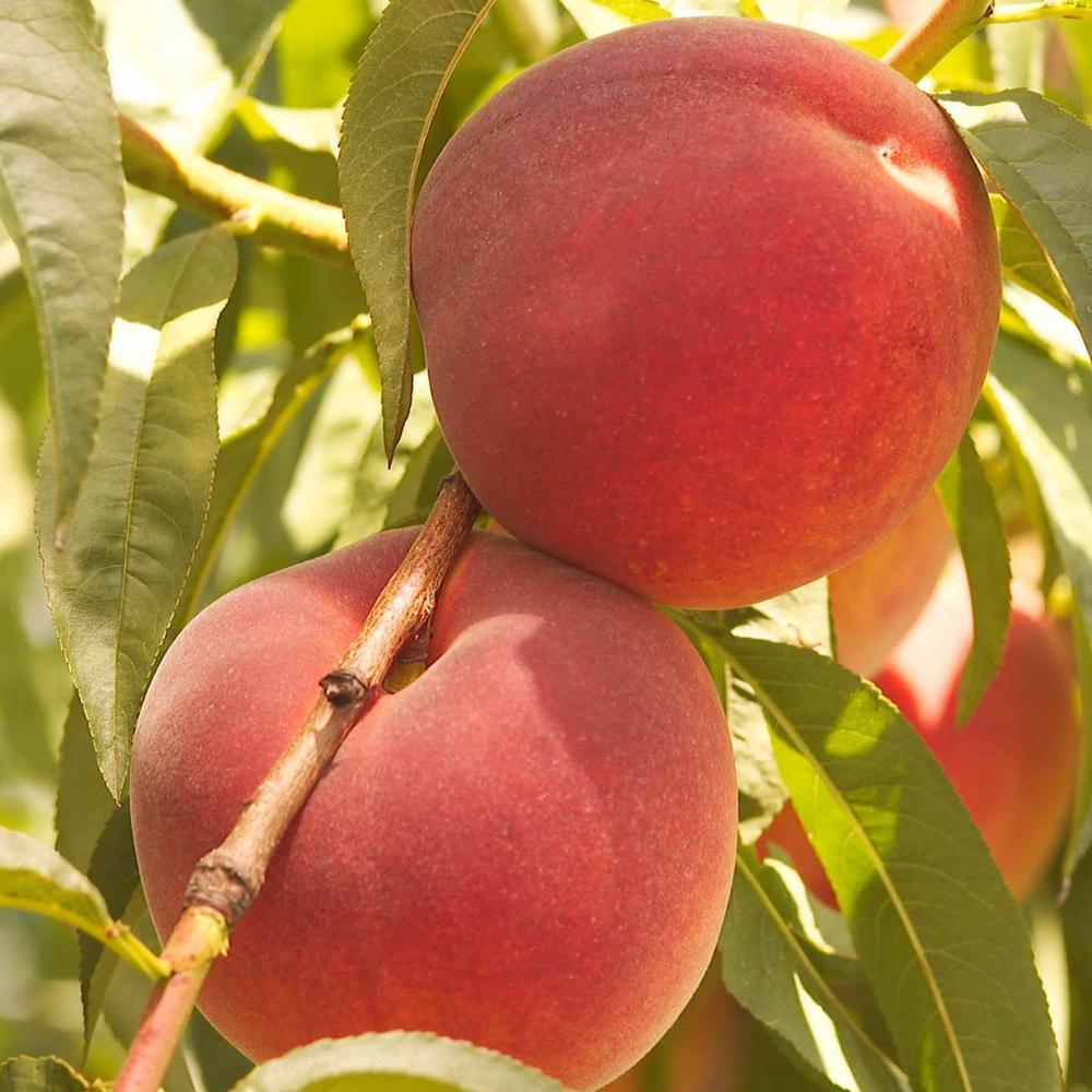 Gurney's Contender Reachables Peach Prunus Live Fruiting Bareroot Deluxe  Tree Kit (1-Pack)