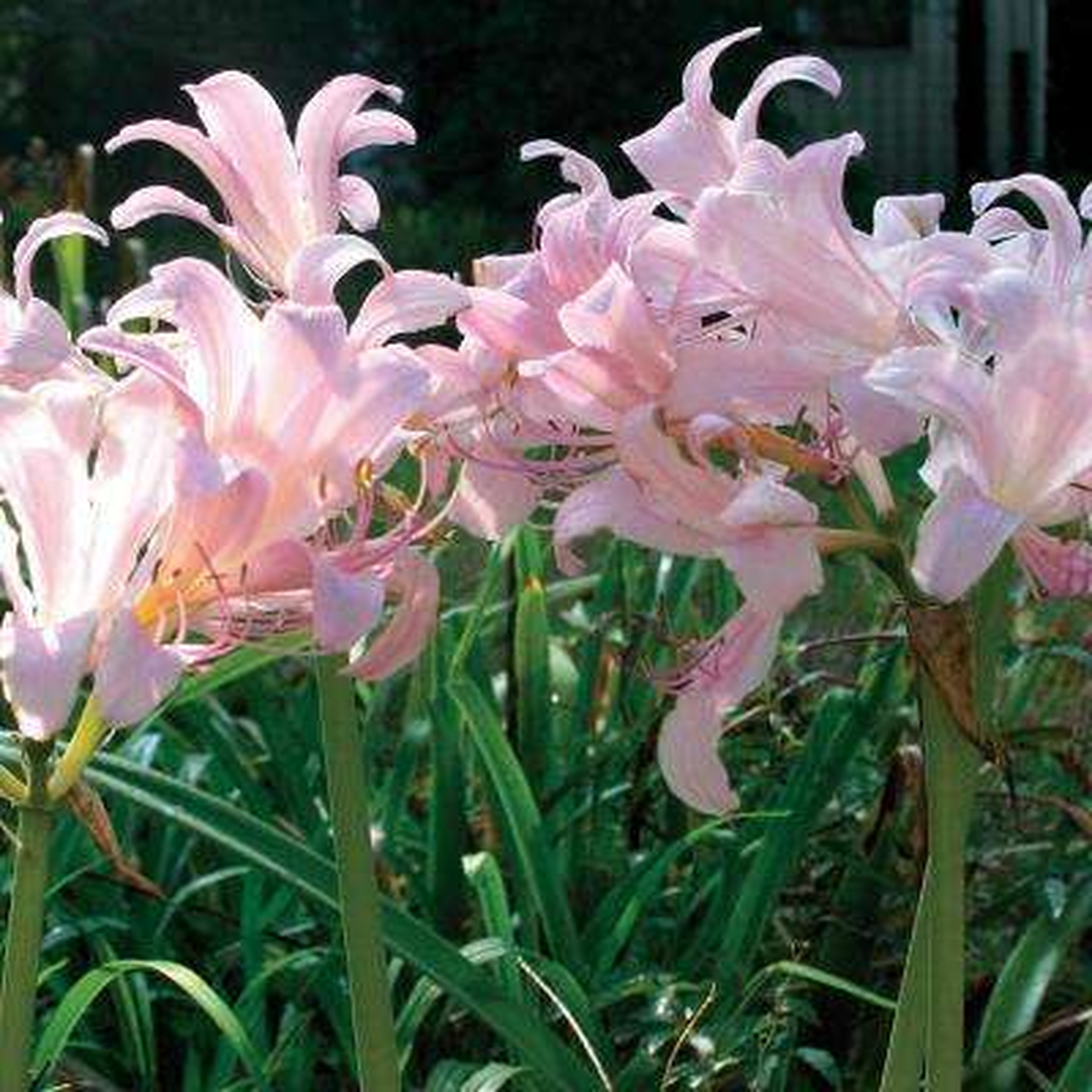 Pink fall summer flower bulbs garden plants flowers the lycoris bulbs squamigera set of 6 mightylinksfo