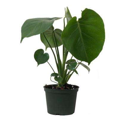 Monstera Deliciosa Live Swiss Cheese House Plant in 6 in. Grower Pot 12 in. - 18 in. Tall
