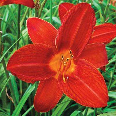 2.5 qt. Campfire Embers Daylily (Hemerocallis), Live Perennial Plant, Red/Orange Flowers with Green Foliage (1-Pack)
