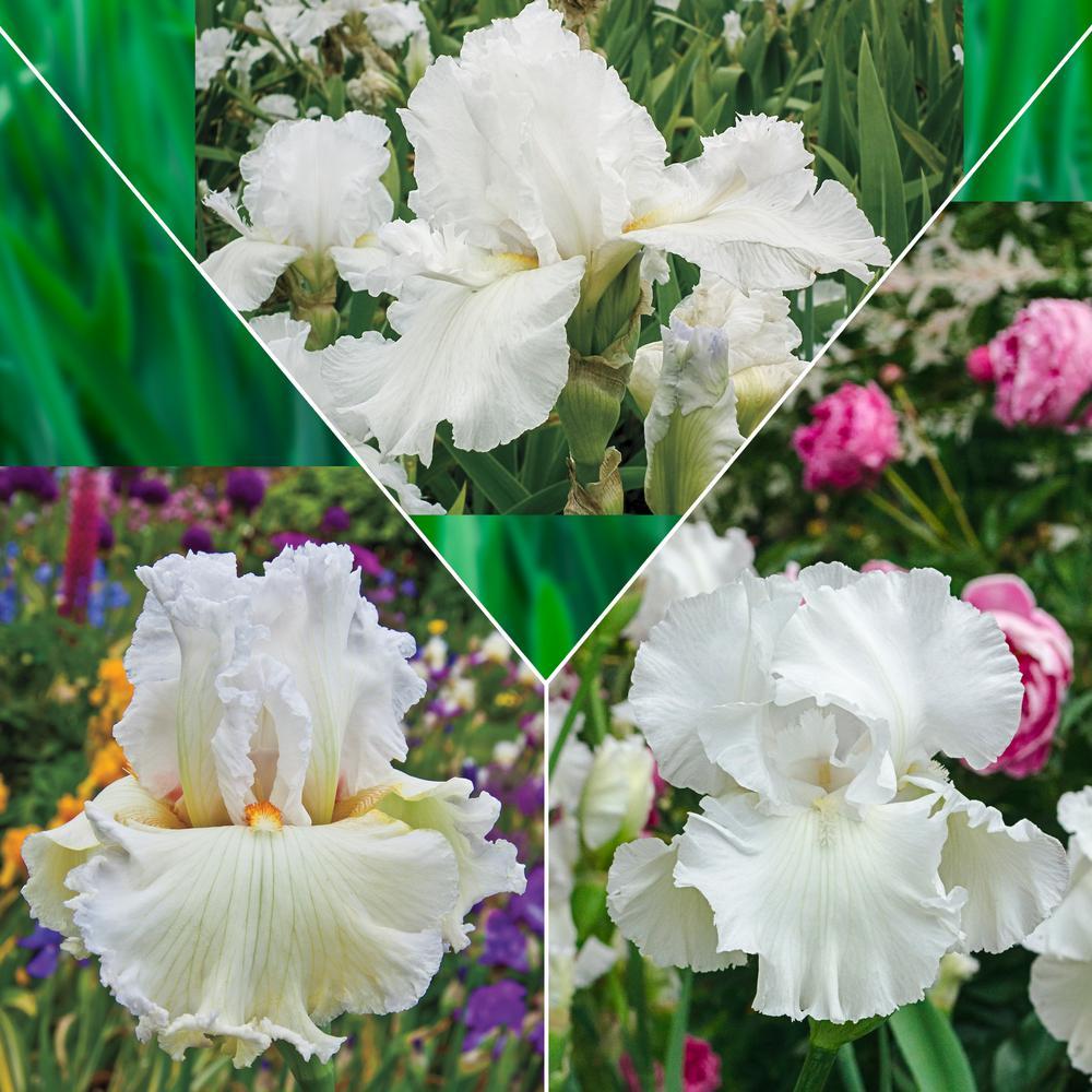White Flowering Iris Mixture, Live Bareroot Perennials (3-Pack)