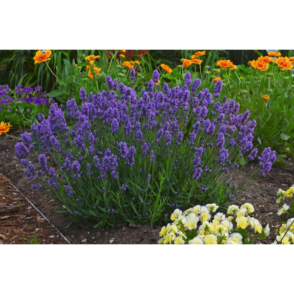 Sweet Romance Lavender (Lavandula) Live Plant, Blue-Purple Flowers, 0.65 Gal.