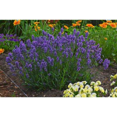Flowering perennial purple drought tolerant perennials sweet romance lavender lavandula live plant blue purple flowers 45 in mightylinksfo