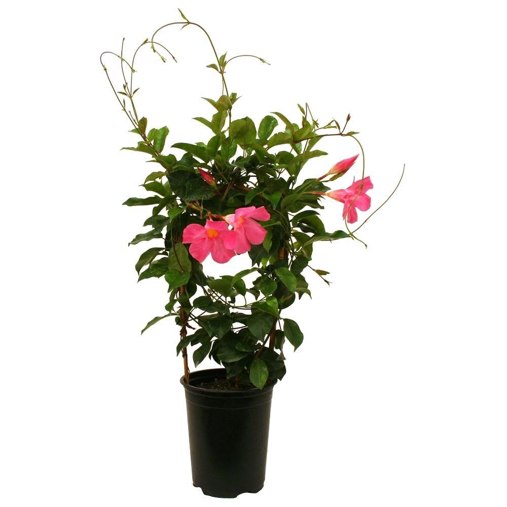 Delray Plants Mandevilla Pink 6 in. Pot