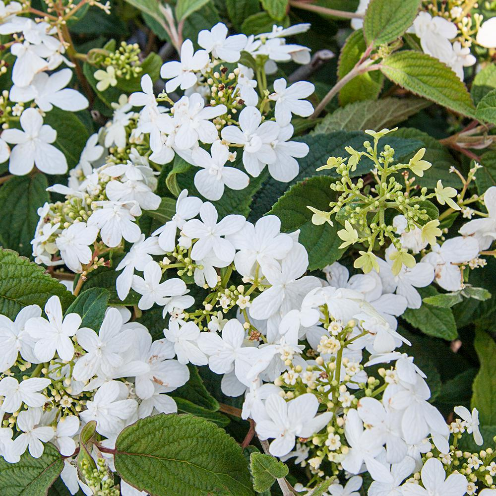 Spring Hill Nurseries 250 Qt Pot Summer Snowflake Viburnum Live