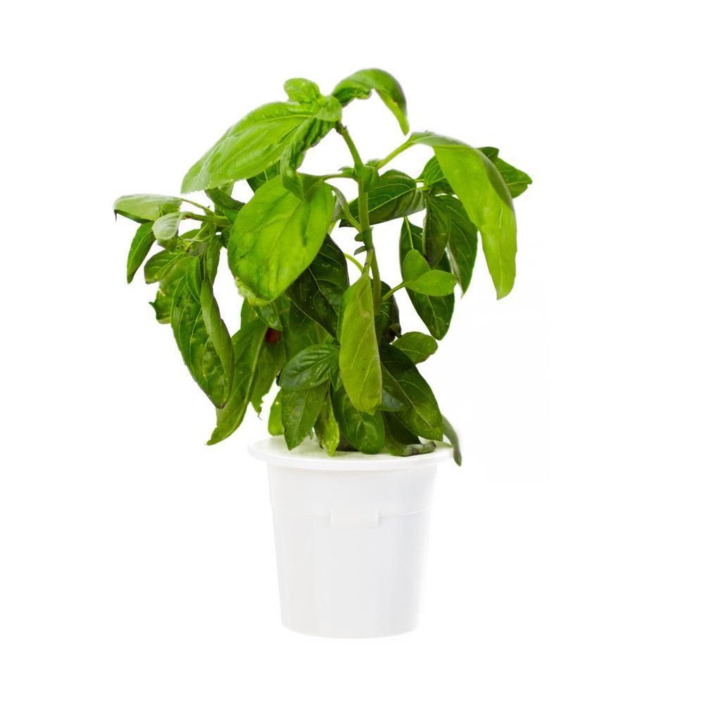 Basil Plant Herb Plants Edible Garden The Home Depot
