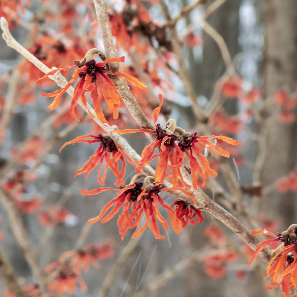 Spring Hill Nurseries Diane Witch Hazel Hamamelis Live Bareroot